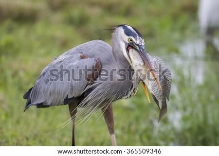 Great Blue Heron (Ardea herodias) eating a large Tilapia - Melbourne, Florida - stock photo