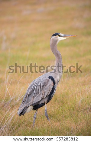 Great Blue Heron - Ardea Herodias foraging in the grasslands