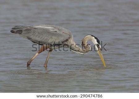 Great Blue Heron (Ardea herodias) getting ready to strike its prey - Bolivar Peninsula, Texas - stock photo