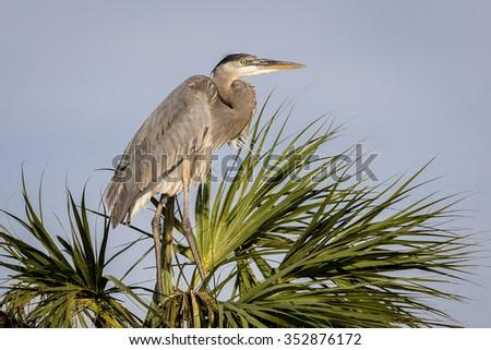 Great Blue Heron (Ardea herodias) Nesting on a Palm Tree - Viera Wetlands, Florida - stock photo