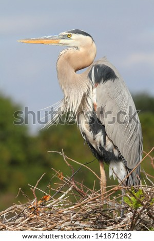 Great Blue Heron (Ardea Herodias) on a nest in the Florida Everglades - stock photo