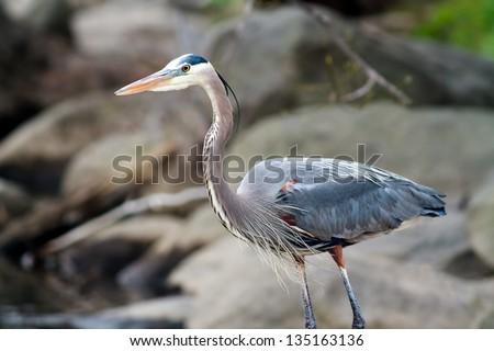Great Blue Heron (Ardea herodias ) on a rocky shoreline - stock photo