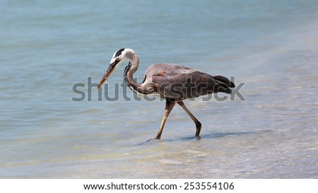 Great blue heron, Ardea herodias, playing with a little fish - stock photo