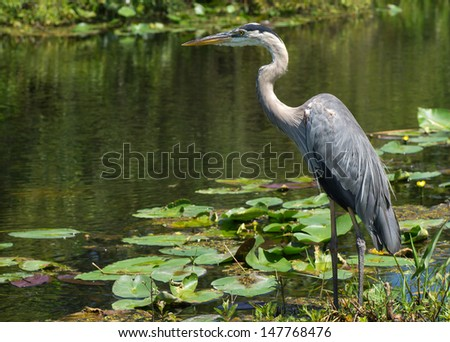 Great Blue Heron (Ardea herodias) Standing at Waters Edge in Florida Everglades - stock photo
