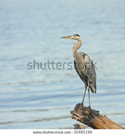 Great blue heron (Ardea herodias) standing in a log overlooking a lake - stock photo