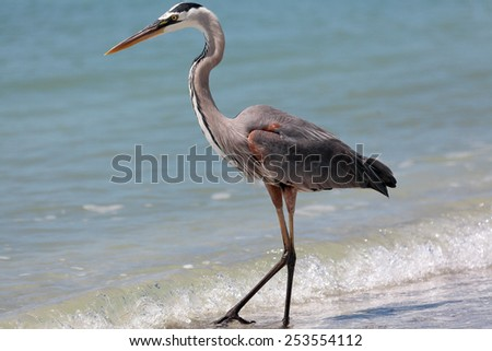 Great blue heron, ardea herodias, standing on water - stock photo