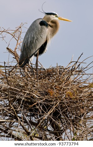 great blue heron at nest in florida wetland, with lots of feather and nest detail - stock photo