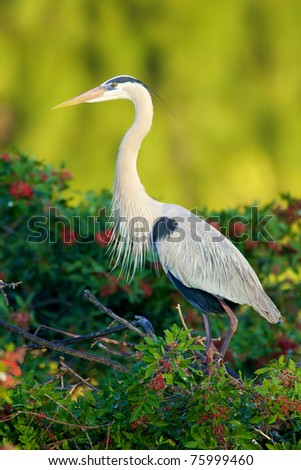 Great Blue Heron at Venice Rookery with bright green plant background - stock photo