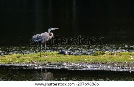 Great Blue Heron basking in the sun on the Chesapeake Bay in Maryland - stock photo