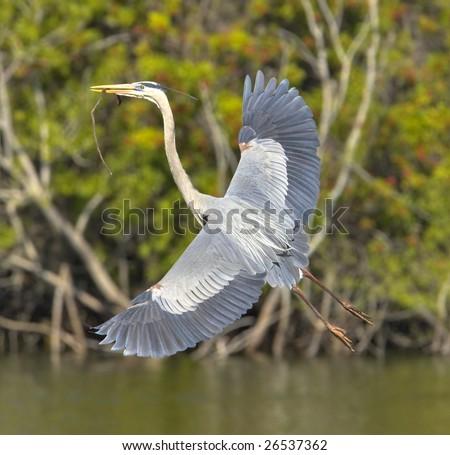great blue heron building nest - stock photo