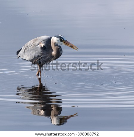 Great blue heron catching a fish in a pond - stock photo