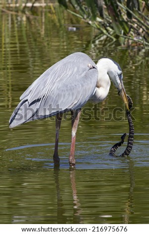 Great Blue Heron eating a snake. Photo taken in Green Cay Wildlife Reserve Southern Florida.  - stock photo