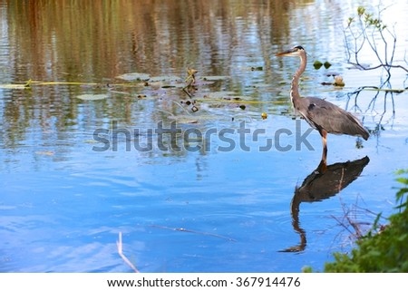 great blue heron fishing at everglades national park - stock photo