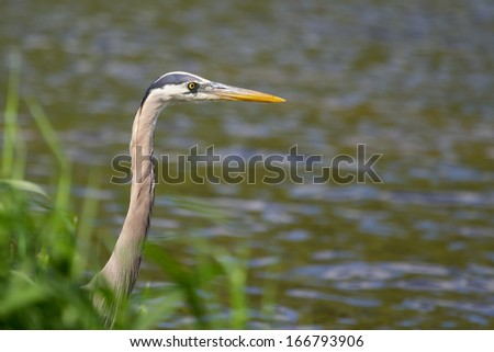 Great Blue Heron fishing in a pond