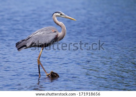 Great Blue Heron fishing in a pond - stock photo