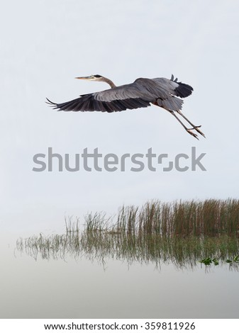 Great Blue Heron Flies Over a Foggy Lake at Sunrise - stock photo
