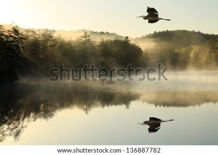 Great Blue Heron flies over foggy lake at dawn - stock photo