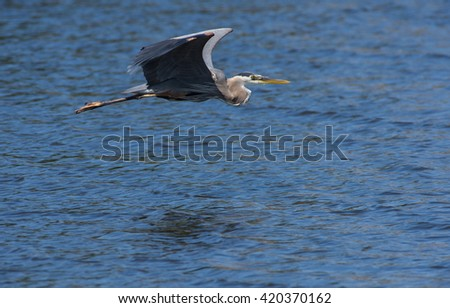 Great Blue Heron flying - stock photo