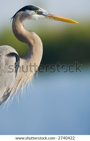 great blue heron head shot, everglades national park - stock photo