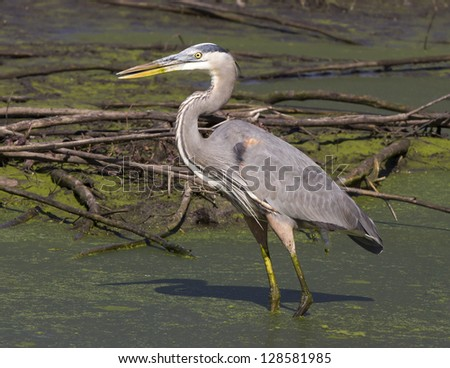 Great Blue Heron hunting in a swamp