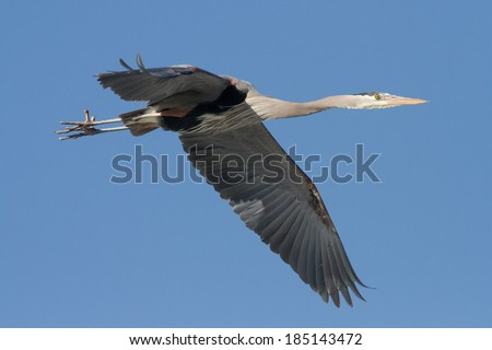 Great Blue Heron in flight - stock photo