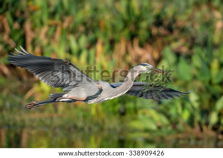 great blue heron in flight brings branches for nesting material - stock photo