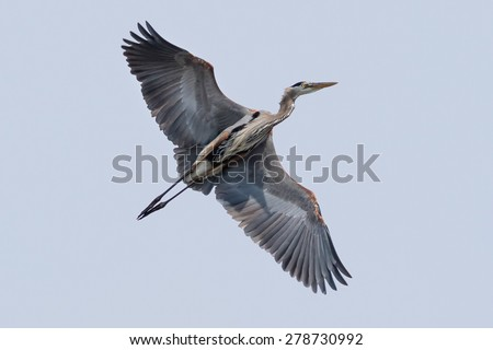 Great Blue Heron in flight over lake - stock photo