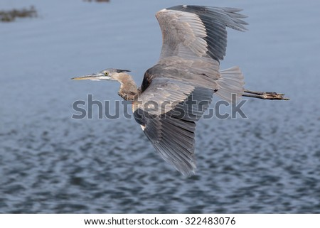 Great Blue Heron in flight over the river channel. - stock photo