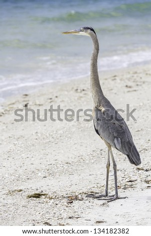 Great Blue Heron in South Florida