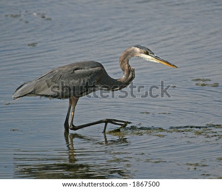 Great Blue heron in the shallow water - stock photo