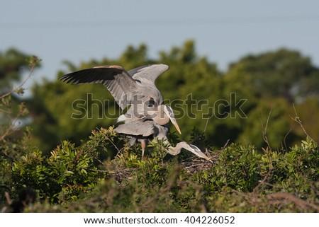 Great Blue Heron mating / copulation (Ardea herodias) on a nest - stock photo