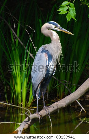 Great Blue Heron nictitating membrane - stock photo
