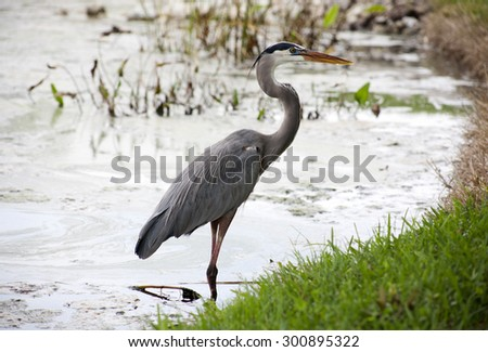 Great blue heron on a background of nature. Usa - stock photo
