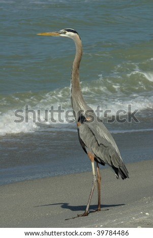 Great Blue Heron on Beach in Florida