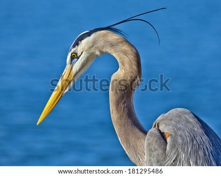 Great blue heron, portrait - stock photo