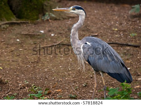 great blue heron portrait - stock photo