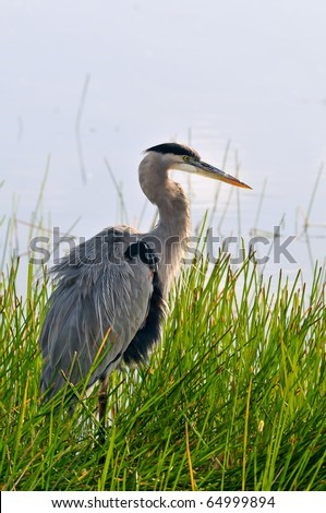 great blue heron posing in florida wetland at dawn - stock photo
