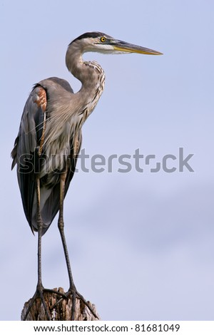 great blue heron posing on tree stump against blue sky with lots of feather detail - stock photo
