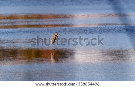 Great Blue Heron standing in the middle of a pond near the Chesapeake Bay in Maryland near sunset - stock photo