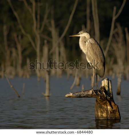 Great Blue Heron standing on a stump in a lake. - stock photo
