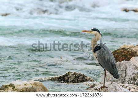 Great Blue Heron standing on the rock in the middle of the river.