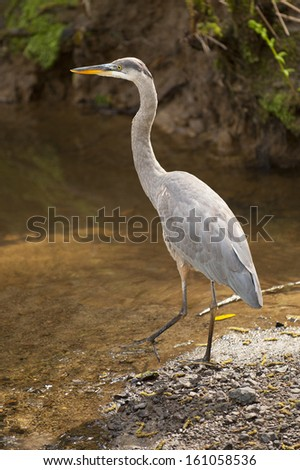 Great blue heron stepping into a creek. - stock photo