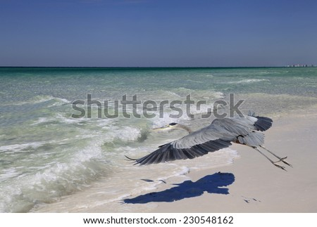 Great Blue Heron Taking Off From the Beach Casting It's Distinctive Shadow - stock photo