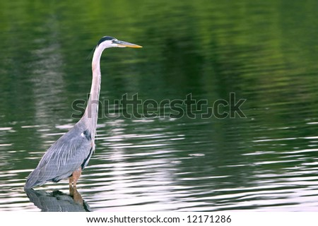 great blue heron wading as background