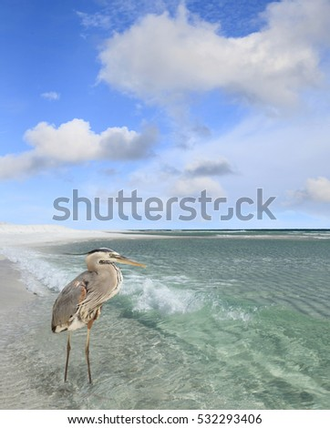 Great Blue Heron Wading in the Beautiful Crystal Clear Gulf of Mexico