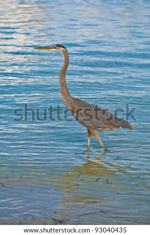 Great Blue Heron walking in the clear blue water