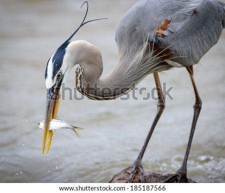 Great Blue Heron with fish bending down - stock photo