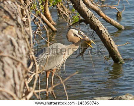 Great Blue Heron With Fish Under Fallen Tree - stock photo