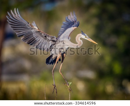 Great blue heron with wings spread wide