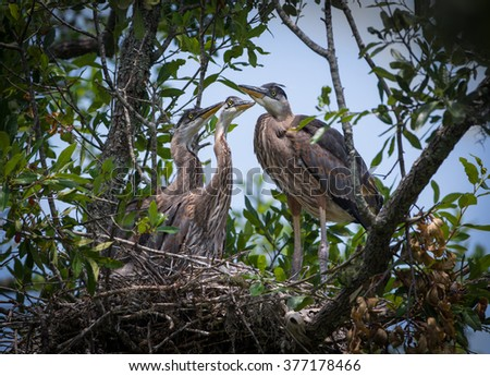 Great Blue Herons in a Tree Nest - stock photo